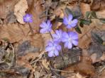 Der Frühling ist da: Leberblümchen