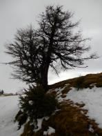 Diese Lärche hat kältere Februar Anfänge miterlebt.