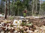15 min Ski tragen vorbei an blühenden Frühlingsboten (Schneerosen)